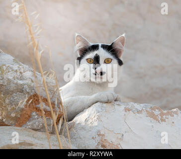 Funny bicolor schwarz-weisse Katze Gesicht mit ungewöhnlichen einzigartige Fell Markierungen und Muster, Neugierig mit gelben Augen, Kykladen, Ägäis Insel, Griechenland
