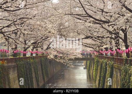 Japanische blühende Kirschbäume (Prunus Serrulata) in voller Blüte, Naka Meguro Canal, Tokio, Japan - Stockfoto