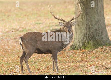 Einen schönen Hirsch mandschurischen Sika Hirsch (Cervus Nippon mantchuricus) stehen auf einer Wiese im Herbst. - Stockfoto