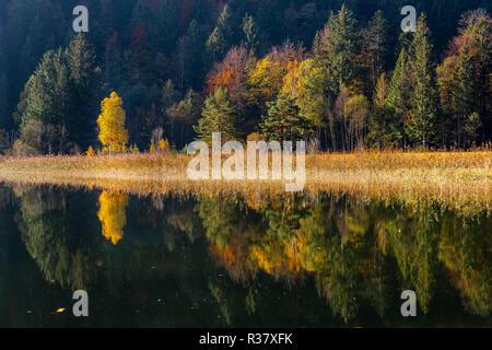 Wasser spiegeln, Bäume im Herbst am Lake Schwansee, Füssen, Ostallgäu, Bayern, Deutschland - Stockfoto