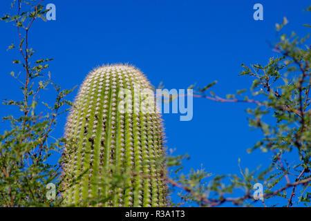 Saguaro Kaktus vor blauem Himmel