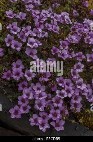 Lila, steinbrech Saxifraga oppositifolia in Blüte auf feuchten Felsen, Abisko, arktischen Schweden. - Stockfoto