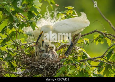 USA, Louisiana, Jefferson Insel. Snowy Egret Paar am Nest mit Küken. - Stockfoto