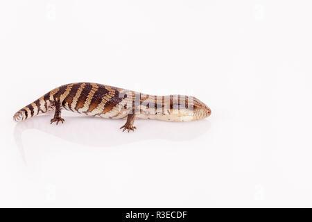 Australier Baby Eastern Blue Tongue Lizard closeup zu Fuß auf reflektierende weiße Plexiglas vor weißem Hintergrund im Querformat isoliert