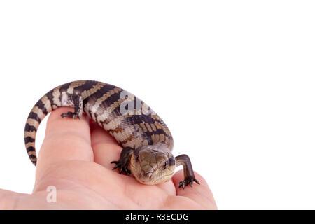 Australier Baby Eastern Blue Tongue Lizard selektiven Fokus und Closeup auf nach Hand auf weißem Hintergrund im Querformat mit Kopie Raum isoliert