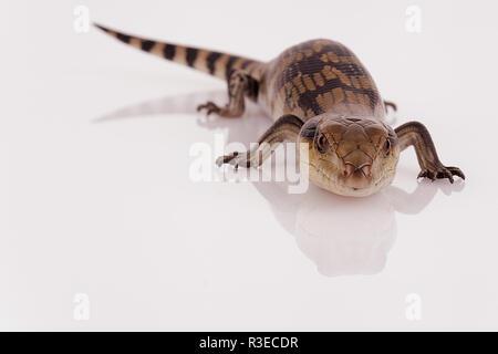 Australier Baby Eastern Blue Tongue Lizard blitzte Viewer bereit zu zischen, selektiver Fokus und Closeup auf weißen retroreflektierenden Perspex base isoliert