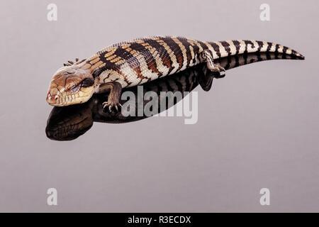 Australier Baby Eastern Blue Tongue Lizard Nahaufnahme von Schlafen auf reflektierende [schwarz] Plexiglas Sockel mit Kopie Raum im Querformat isoliert
