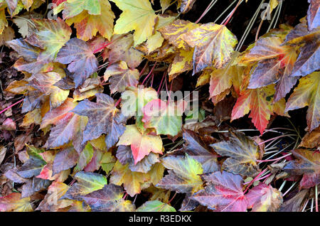 Virginia Creeper (parthenocissus Subtomentosa) im Herbst (November) London, England, UK. - Stockfoto