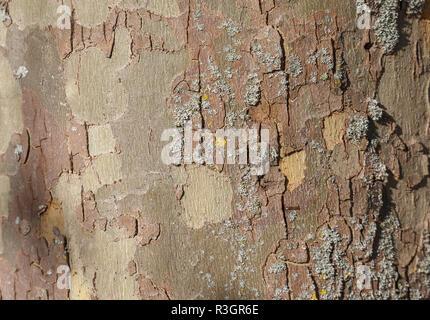 Hintergrund Foto von Textur von London Platane Rinde - Stockfoto