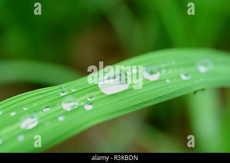 Verschiedene Größe von kristallklarem Wasser Tröpfchen auf der pulsierenden grünen Blatt in der Morgensonne - Stockfoto