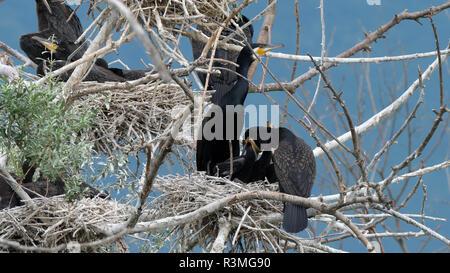 Große Kormorane (Phalacrocorax carbo) Fütterung seiner Jungen, See Kerkini, Zentralmakedonien, Griechenland - Stockfoto