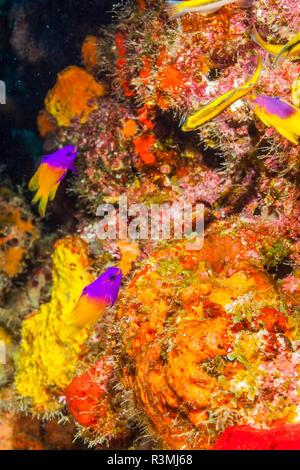 Nördlichen Bahamas, Karibik. Bunte Märchen basslet (Gramma loreto) und Korallen. - Stockfoto