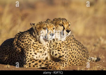 Gepard (Acinonyx jubatus). Zwei Brüder. Ruht. In Gefangenschaft auf dem Bauernhof fotografiert. Namibia. - Stockfoto