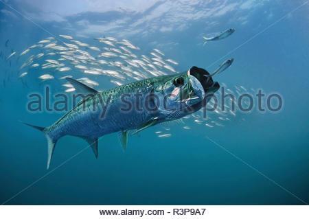 Atlantischen Tarpon, Megalops Atlanticus. Sardinen jagen. Tarpon ist in der Lage, den Atem mit schwimmblase wie eine primitive Lunge Luft. Das zusammengesetzte Bild. Portugal. Zusammengesetztes Bild - Stockfoto