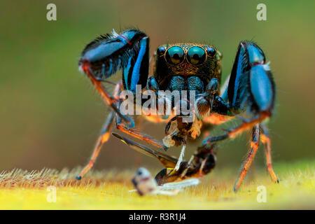 Portraitfotos eines männlichen Behaart - bewaffnete jumping Spider (Harmochirus brachiatus) - Stockfoto