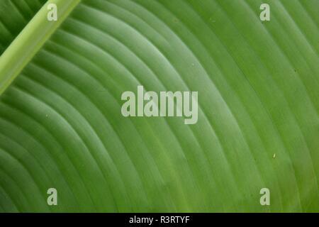 Green Palm Leaf Muster und Texturen in Costa Rica/Mittelamerika. - Stockfoto