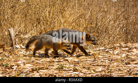 Insel fox (Urocyon littoralis), Santa Cruz Insel, Channel Islands National Park, Kalifornien, USA - Stockfoto
