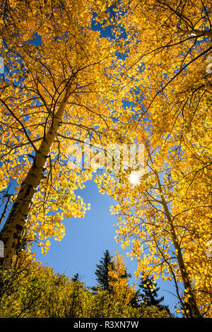 Low Angle View nach oben durch Aspen Bäume im Herbst Farbe, Uncompahgre National Forest, Colorado - Stockfoto