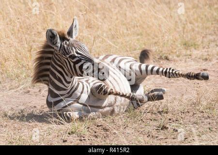 Zebra fohlen Rollen in Staub auf Savannah - Stockfoto