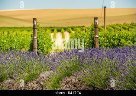 USA, Washington, Walla Walla. Lavendel am Weinberg von aMaurice Kellern. - Stockfoto