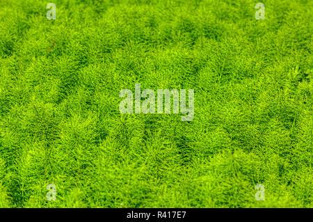 Junge Schachtelhalm, Equisetum, Pflanzen in Seattle, Washington State. - Stockfoto