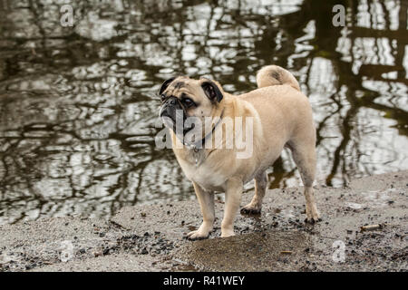 Redmond, Washington State, USA. Fawn-farbigen Mops, Buddy, Sammamish Fluss in Marymoor Park posieren. (PR) - Stockfoto