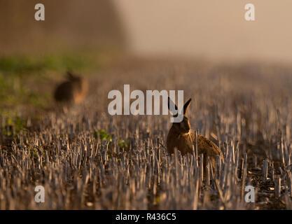 Zwei braunen Hasen (Lepus europaeus) in einem Feld von Stoppeln sitzen, Norfolk - Stockfoto