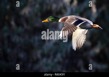 Bei einem männlichen Stockente im Flug suchen - Stockfoto