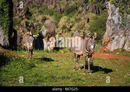 Der Grevy Zebra (Equus grevyi), manchmal bekannt als der Imperial Zebra, ist die größte Art von Zebra. Es in der Masai Mara in Kenia Afrika gefunden wird