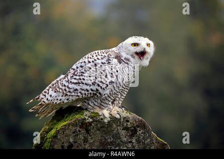 Snowy Owl, Erwachsener, Kasselburg, Eifel, Deutschland, Europa, (Nyctea scandiaca) - Stockfoto