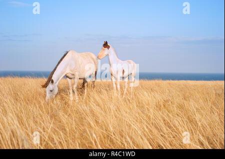 Schöne Pferde am Strand - Stockfoto