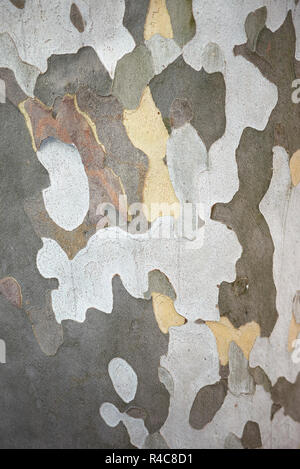 Platanus x hispanica strukturierte Rinde - Stockfoto