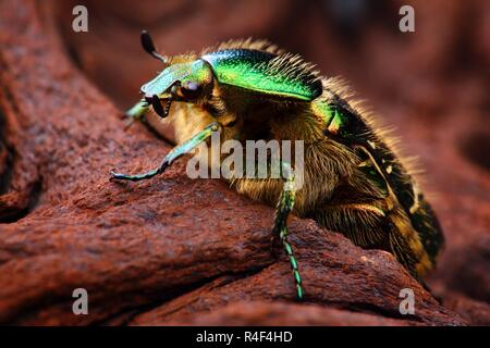 Extrem scharfe und detaillierte Foto von Skarabäus Insektennadeln (Cetonia aurata) Käfer. Das Bild wird von vielen Schüsse, die in einem scharfen Bild gestapelt. - Stockfoto