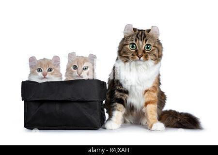Zwei Creme mit weißen American Curl Katze Kätzchen sitzend in schwarzem Papier Beutel mit Mutter neben Ihnen. Auf Kamera mit grau/blaue Augen. Isolierte o - Stockfoto