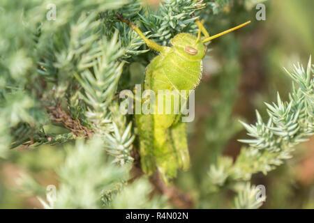 Heuschrecken, die noch in einer Pflanze, Feldheuschrecken - Stockfoto