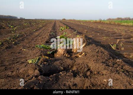 Zwei Zuckerrüben und einige Blätter auf dem Feld links nach der Ernte - Stockfoto