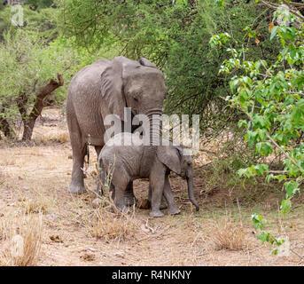 Jugendliche afrikanische Elefanten im südlichen afrikanischen Savanne Wald - Stockfoto
