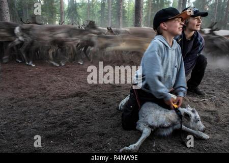 Jeden Sommer die Sami rentier Hirten von nördlichen Skandinavien die Herausforderung des Ohr face-Kennzeichnung jedes der neuen Kälbern zu Ihrer Herde geboren. Mit dem alten Zeichen ihrer Familie, die kleine Schnitzereien in den Ohren ermöglichen die Hirten ihre Herde während weiden Sie zu erkennen. Es ist eine schwierige Aufgabe, da die Zahl der Rentiere, für die Sie verantwortlich sind und die großen Entfernungen, die Sie abdecken, wie Sie über den Berg weiden Weiden nördlich des Polarkreises. - Stockfoto