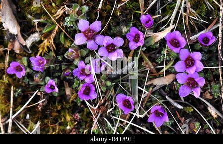 Purple mountain Steinbrech Blüte im Frühjahr - Stockfoto