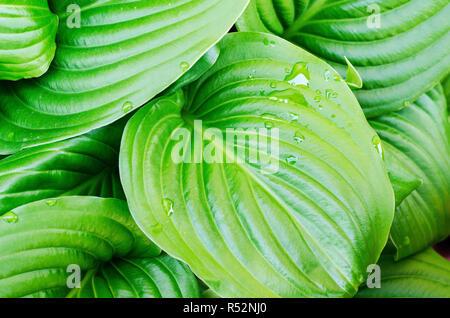 Wassertropfen Hosta Blatt - Stockfoto