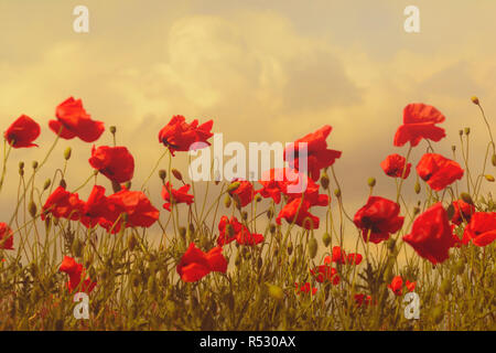 Große Wiese von Poppy gegen den dunklen Himmel vor Regen. Frühling Natur Zusammensetzung in die düstere Stimmung. Getönt - Stockfoto