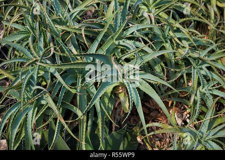Aloe arborescens - Stockfoto