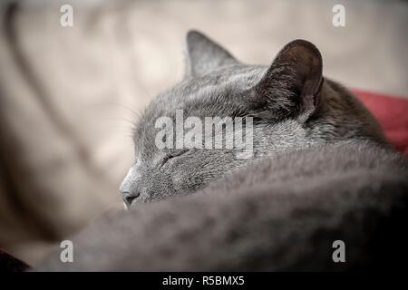 Schlaf gerettet Inland kurzhaar Katze auf der Couch in einer Wohnung in New York am Samstag, 17. November 2018. (© Richard B. Levine) - Stockfoto