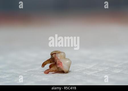 Hund Zahn extrahieren. Zellstoff- Infektion. Zahnstein - Stockfoto