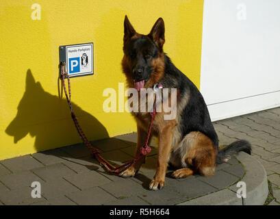 Deutscher Schäferhund ist ein Hund Parkplatz vor einem Supermarkt, Berlin an der Leine, Deutschland - Stockfoto