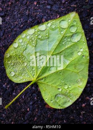 Nahaufnahme der Gefallenen grüne Blätter mit Wasser und Regen fällt auf der Unterseite - Stockfoto