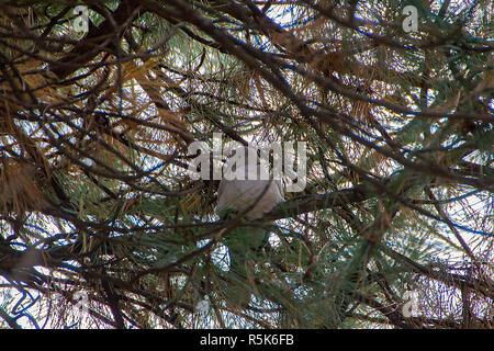 Streptopelia ist eine Gattung der Vögel in der Taube Familie. Bild genommen, Kikinda, Serbien 01.12.2018. - Stockfoto