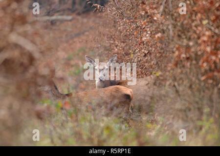 Doe deer getarnt beobachten, Wandern im Herbst Wald - Stockfoto