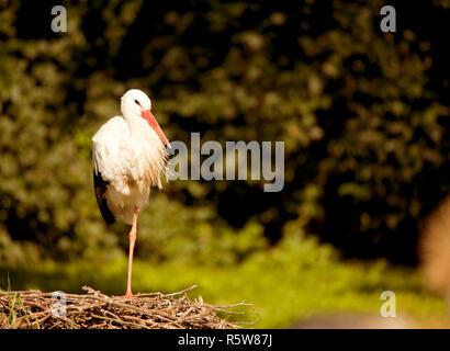 Weißstorch sitzt im Nest - Stockfoto