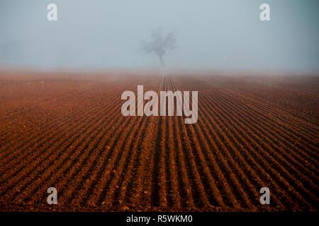 Einsamer Baum in den Furchen des Feldes, Nebbia, Alessandria, Piemont, Italien - Stockfoto